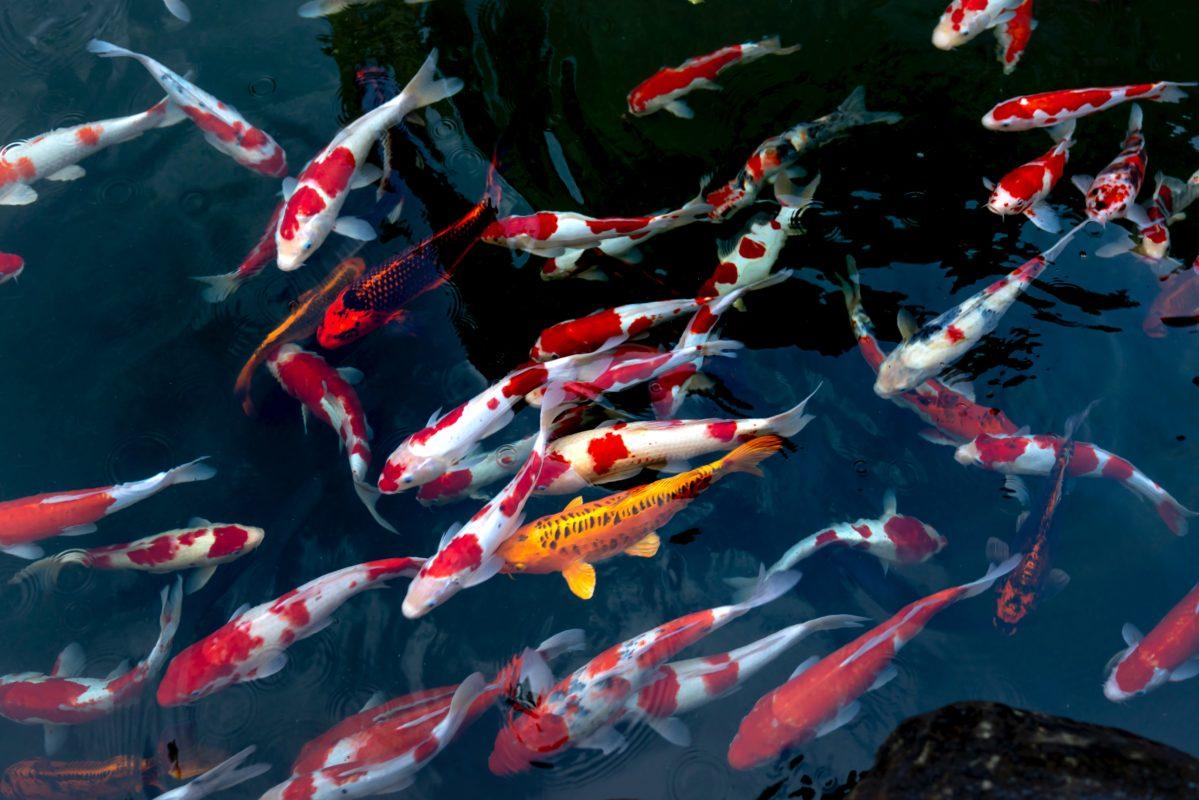 Một số điều cần biết về tên gọi của cá koi