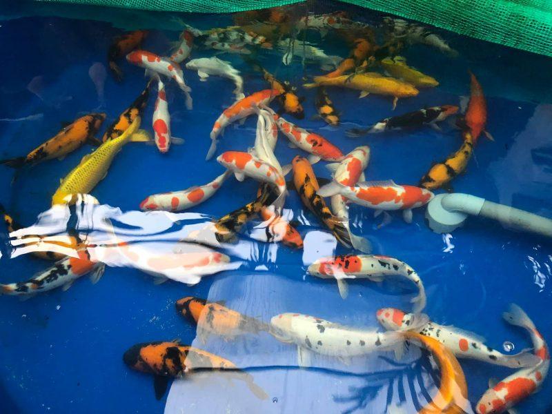 Một số giống cá chép Nhật được yêu thích nhất hiện nay