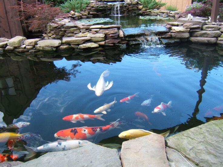 Một số lưu ý khi làm hồ nuôi cá Koi đảm bảo cá phát triển
