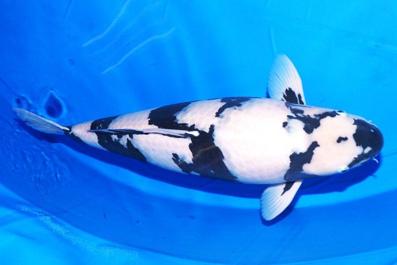 Một vài nét về cá Koi Shiro Utsuri
