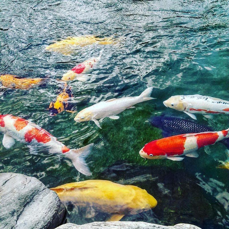 Mua cá Koi ở đâu đảm bảo chất lượng nhất