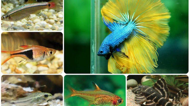 Nên nuôi cá bảy màu chung với loài cá gì?