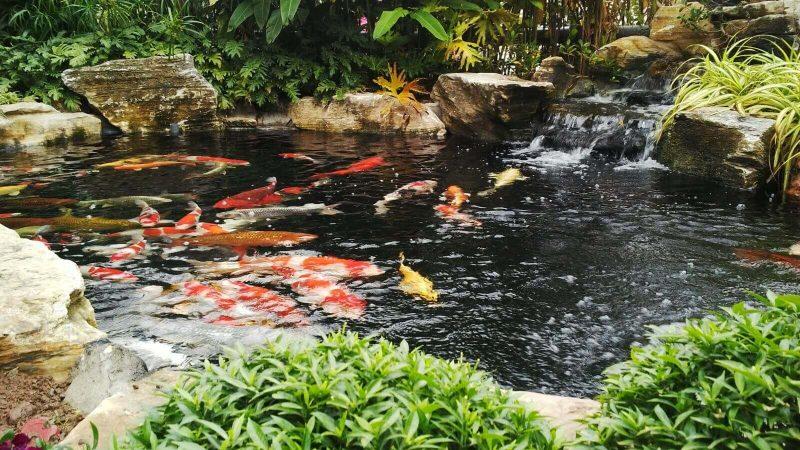 Những chú cá Koi đẹp mà bạn không thể bỏ qua