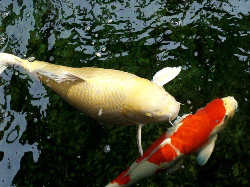 Phân loại cá Koi phổ biến được ưa chuộng trên thị trường