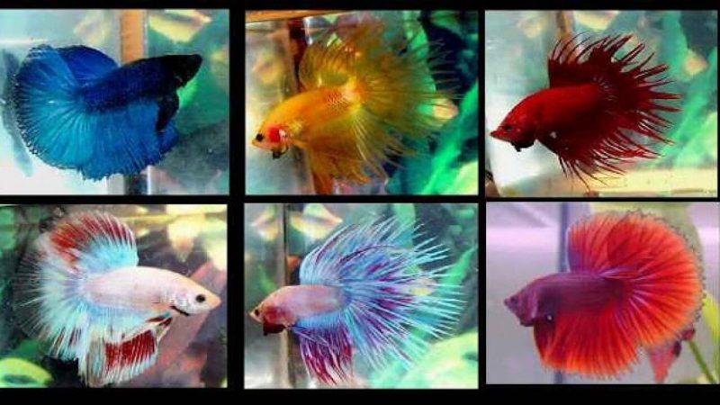Phân loại các dòng cá bảy màu đang có trên thị trường hiện nay