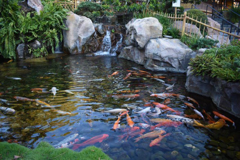 Số lượng cá Koi nuôi trong hồ