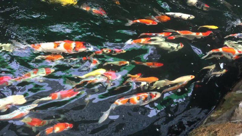 Tập tính sinh trưởng của Cá Koi Lai