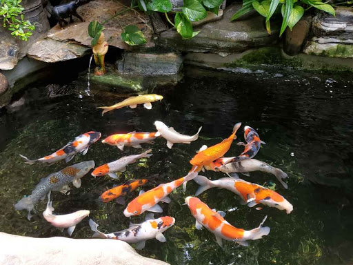 Thiết kế hồ nuôi cá Koi ngoài trời