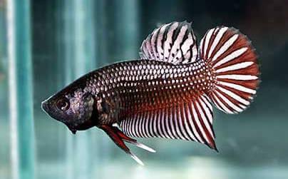 Cá Fancy đuôi ngắn