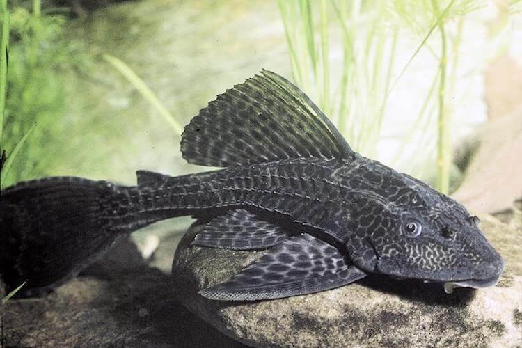 Các câu hỏi thường gặp về loài cá dọn bể