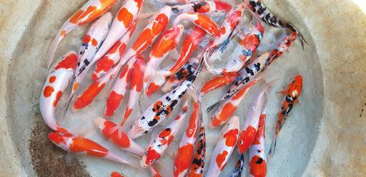 Hướng dẫn kỹ thuật nuôi cá Koi chi tiết nhất