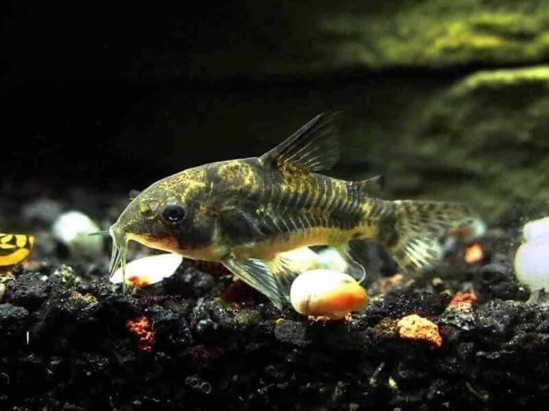 Hướng dẫn nuôi cá dọn bể dành cho người mới bắt đầu nuôi