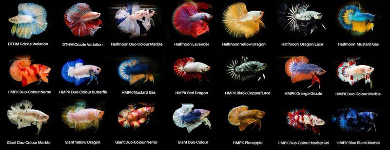 Phân loại các loại cá Betta