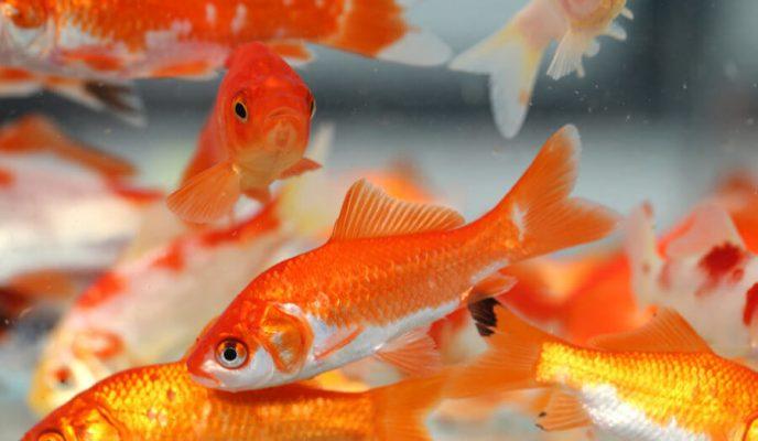 Tìm hiểu chung về cá chép Vàng