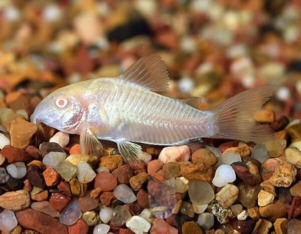 Tìm hiểu chung về cá dọn bể