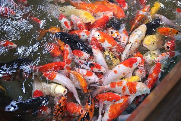 Cá Koi đa dạng
