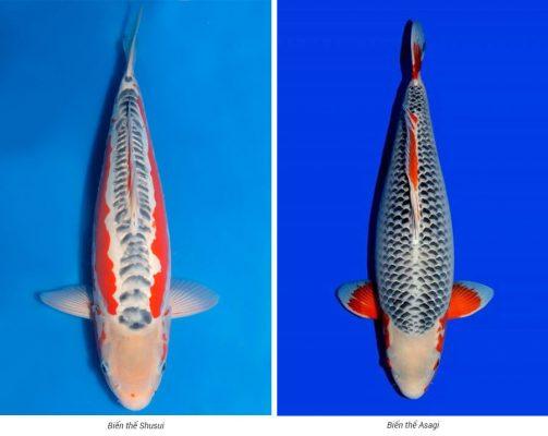 Các giống cá Koi Asagi