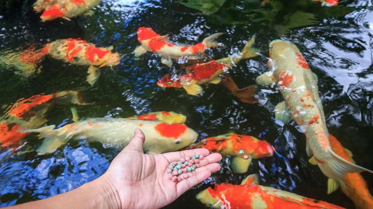 Cách cho cá ăn