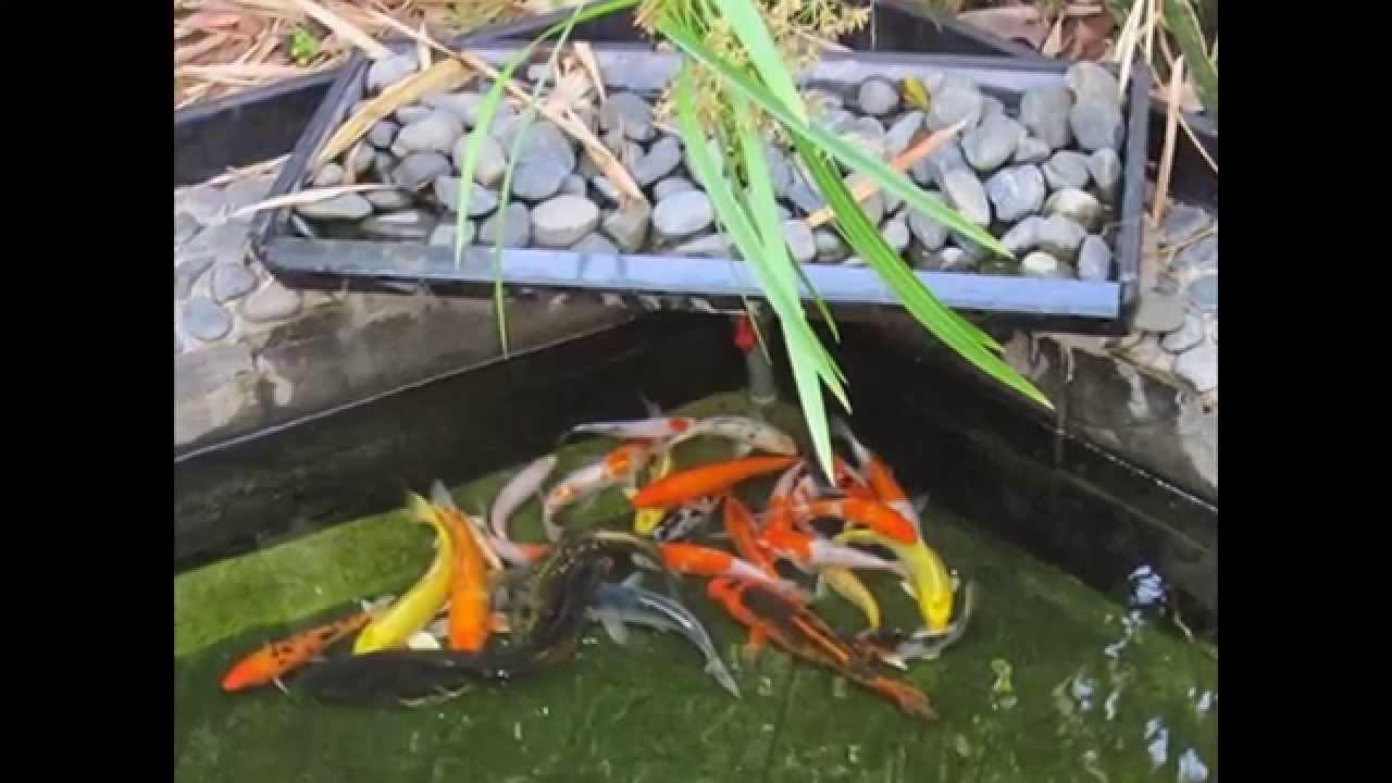 Cách thực hiện cải thiện làm nước hồ cá trong ngoài trời