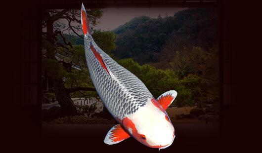 Làm thế nào để đánh giá phẩm chất của một chú cá Asagi