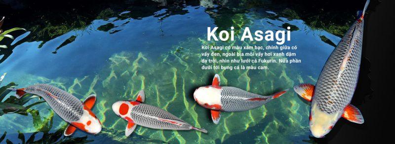 Làm thế nào để nhận định chắc chắn một chú cá Koi Asagi