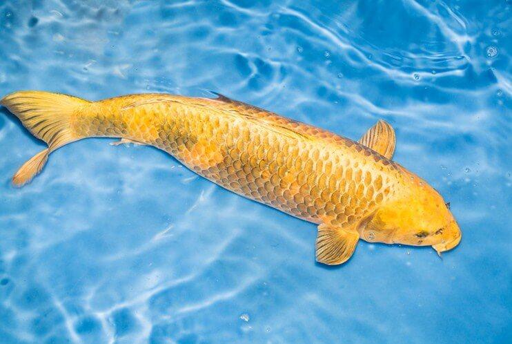 Lợi ích của việc nuôi cá chép