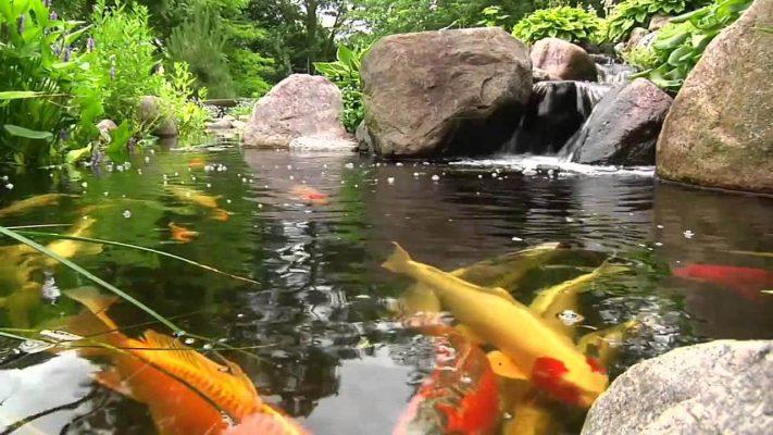 Lưu ý khi cá chép sinh sản