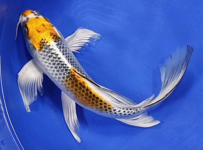 Nên cho cá chép rồng ăn những gì?