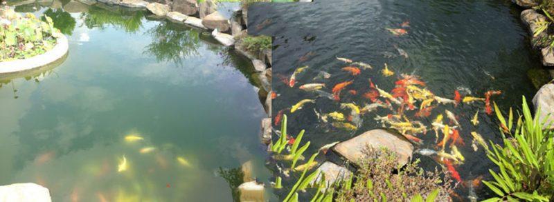 Những lý do cần tiến hành lọc đáy thường xuyên và định kỳ cho hồ cá