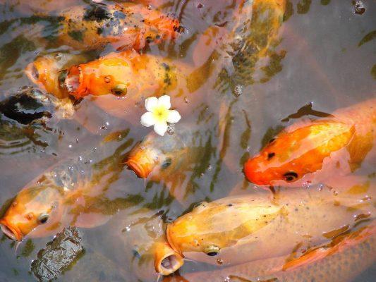 Thiên Dương Koi - đơn vị đồng hành cùng bạn trong các hạng mục nuôi cá chép