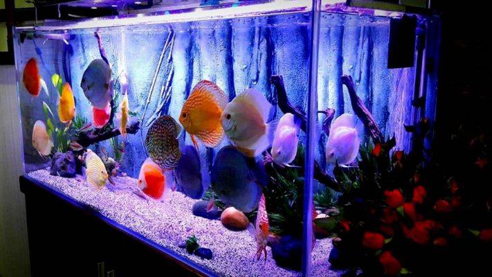 Ưu điểm của đèn UV đối với hồ cá