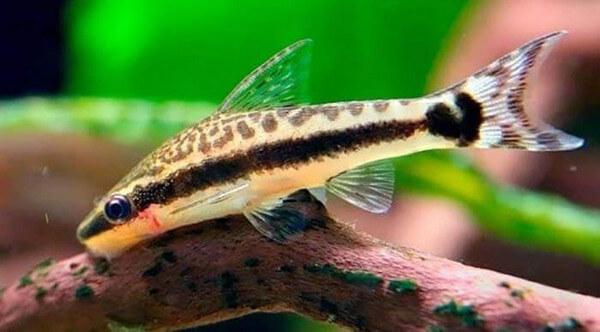 Vai trò của cá dọn bể