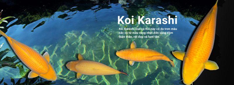KOI YAMABUKI OGON có giống cá Koi màu vàng đồng không?