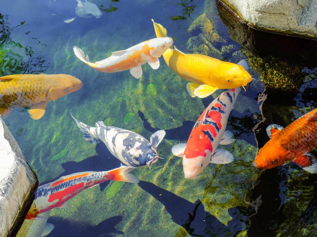 Cá Koi vàng có thể nuôi chung với cá Koi nào?
