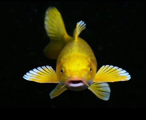 Cách chọn cá Koi vàng