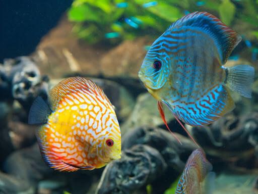 Đặc điểm của cá chép cảnh