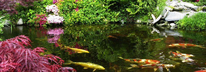 Một số lưu ý về sự tương tác bộ lọc hồ Koi và vi sinh