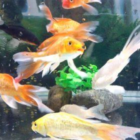 Những thông tin thú vị về loài cá chép cảnh