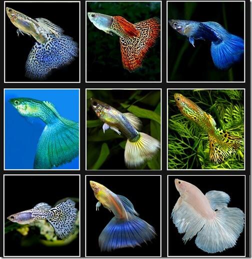 Phân loại cá chép cảnh
