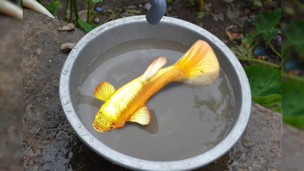 Thức ăn của cá Koi vàng