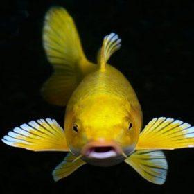 Tổng hợp những thông tin về cá Koi vàng