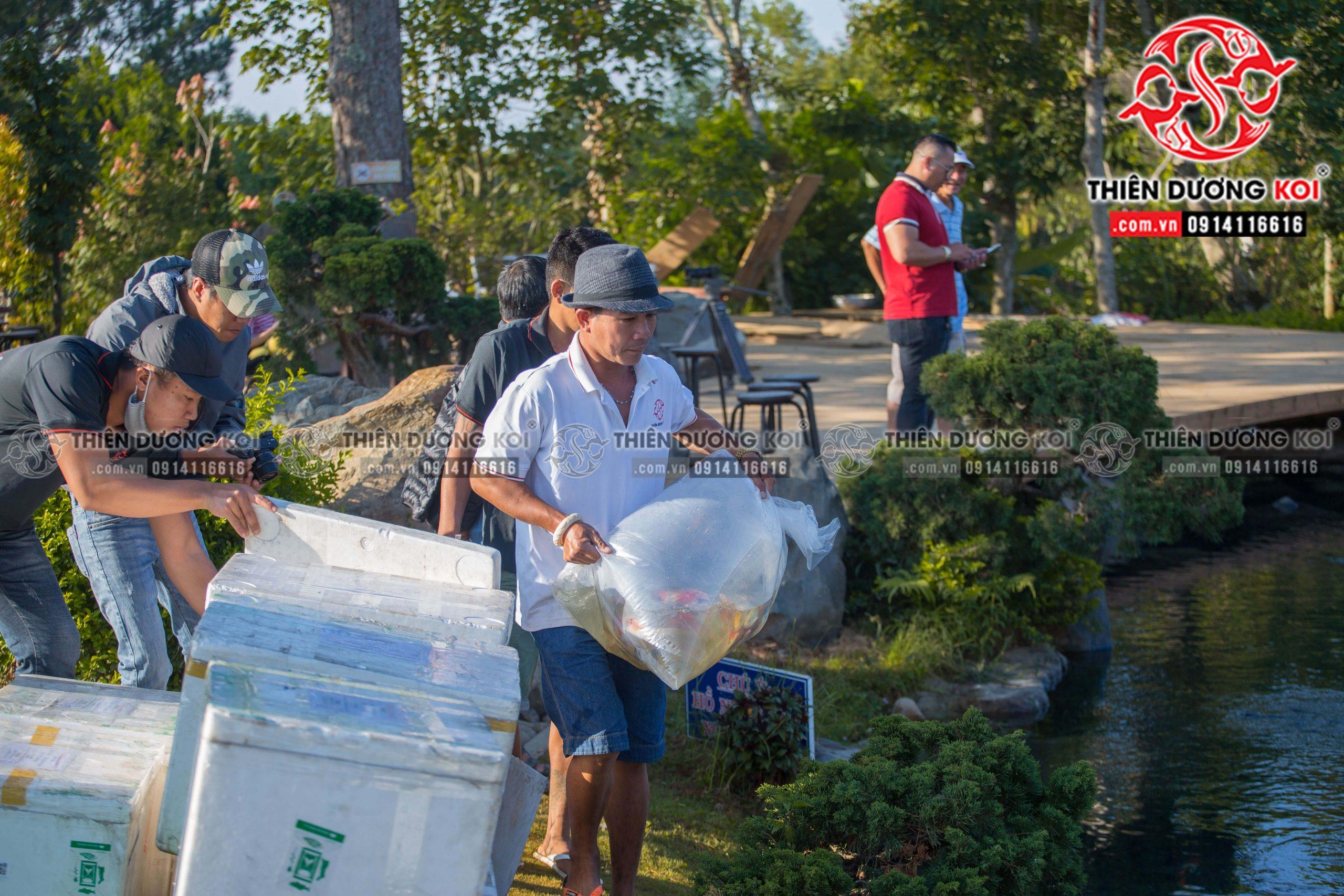 Quy trình thả cá Koi vào hồ